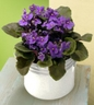 Violet in  Planter is